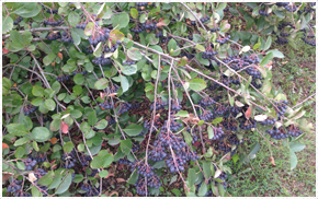 Aronia Berries Iowa