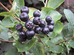 how to plant aronia berries, aronia berries iowa